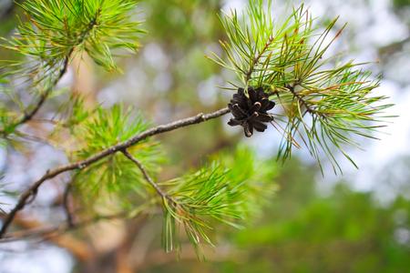綠松樹與松果上的松樹。 版權商用圖片