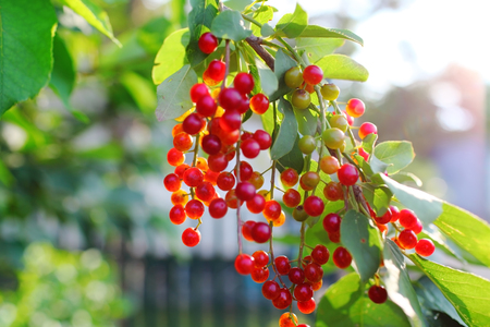 Birdcherry tree with bunch of unripe berries. 版權商用圖片