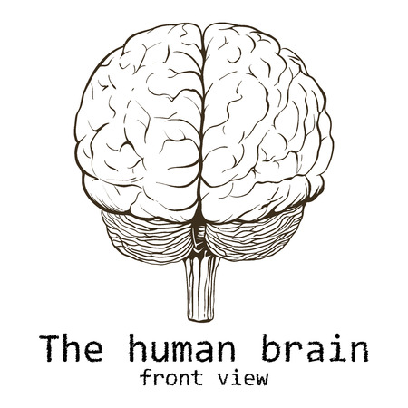 Human brain painted on a white background. 일러스트