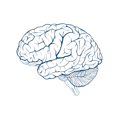 Human brain side view. Isolated vector illustration.