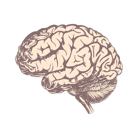 Human brain hand-drawn in brown tones. Isolated on white background. Illustration