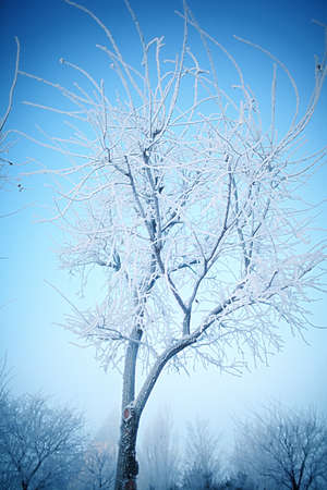 Young tree covered with frost on a frosty winter day.