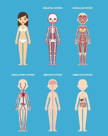 Gestileerde vrouwelijke lichaam anatomie grafiek: skelet, spieren, bloedsomloop, zenuwstelsel en het spijsverteringsstelsel. Flat cartoon stijl.