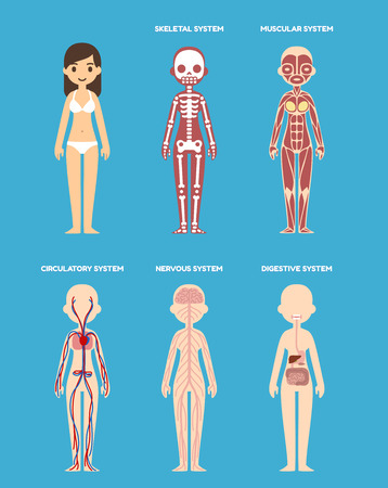 skeletal: Stylized female body anatomy chart: skeletal, muscular, circulatory, nervous and digestive systems. Flat cartoon style.
