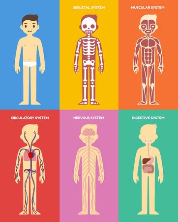 Stylisé humaine tableau d'anatomie du corps: squelette, la musculature, circulatoire, des systèmes nerveux et digestif. Style de bande dessinée plat.