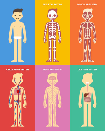 skeletal: Stylized human body anatomy chart: skeletal, muscular, circulatory, nervous and digestive systems. Flat cartoon style.