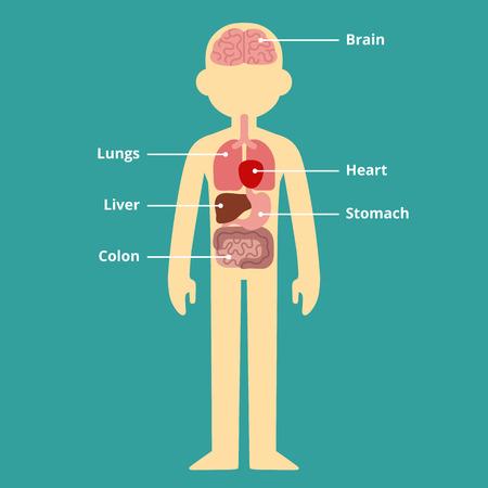 Menselijk intern orgaan infographic grafiek met bijschriften.