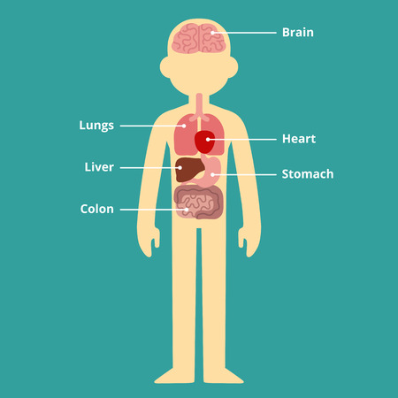 Human internal organ infographic chart with text captions. Illustration