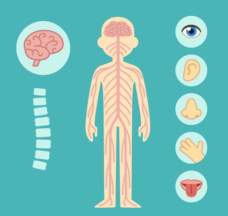 olfato: Del sistema nervioso elementos del gráfico infográficos. Los nervios del cerebro y la columna vertebral de los cinco sentidos. Vectores