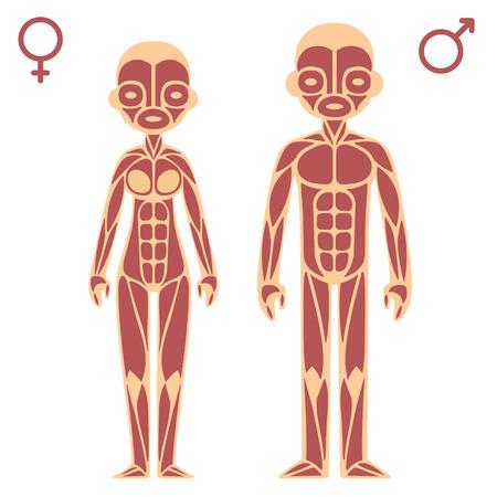 skelett mensch: M�nnliche und weibliche Muskeltabelle Illustration