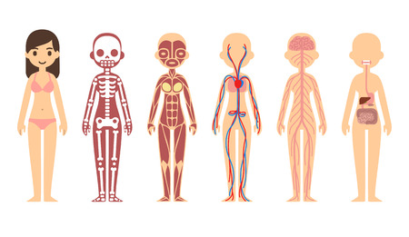 skeleton: Stylized female body anatomy chart: skeletal, muscular, circulatory, nervous and digestive systems. Flat cartoon style.
