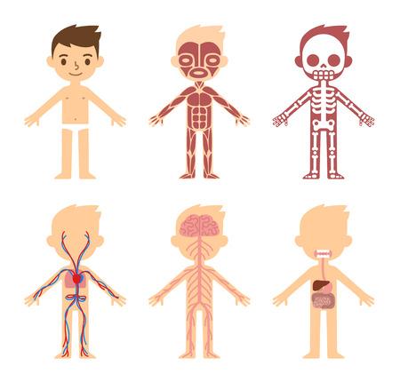 """anatomie: """"Mijn lichaam"""", educatieve anatomie orgel grafiek voor kinderen. Leuke cartoon kleine jongen en zijn lichamelijke systemen: gespierd, het skelet, de bloedsomloop, het zenuwstelsel en de spijsvertering. Stock Illustratie"""
