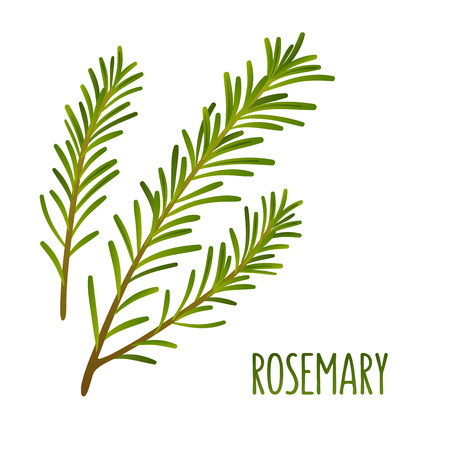 rosemary: Hand drawn decoration element, green rosemary sprigs. Vector floral illustration.