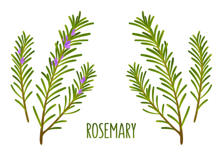 Hand drawn decoration element, green rosemary sprigs with and without flowers. Vector floral illustration. Иллюстрация