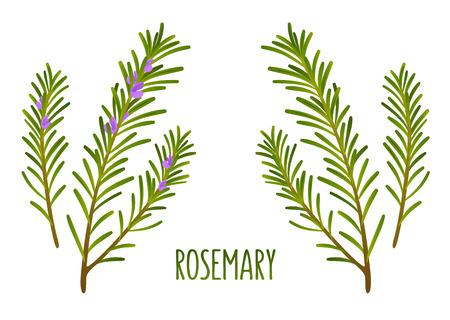 Hand getrokken decoratie element, groene takjes rozemarijn met en zonder bloemen. Vector bloemenillustratie.