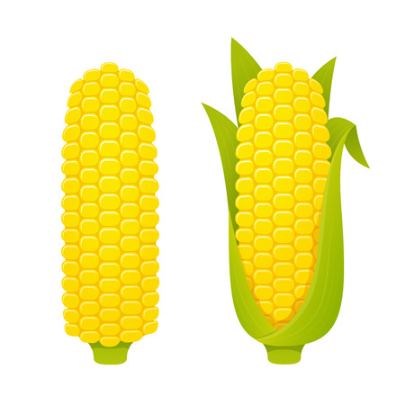 Corn cobs vector illustration set on white background, hulled and with husk. Semi realistic cartoon style. Illustration