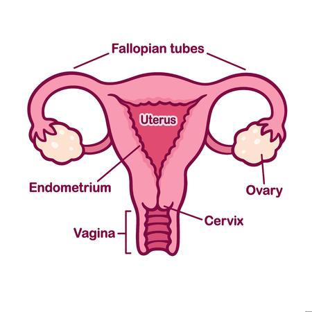Hand Drawn Female Reproductive System Anatomy Chart. Uterus And ...
