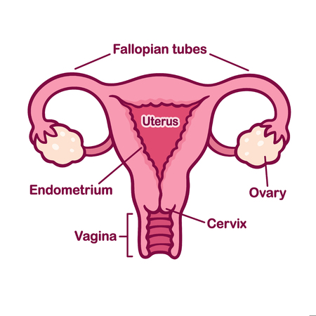 Hand drawn female reproductive system anatomy chart. Uterus and cervix, ovaries and fallopian tubes in simple cartoon style. Captions on separate layer. Illustration