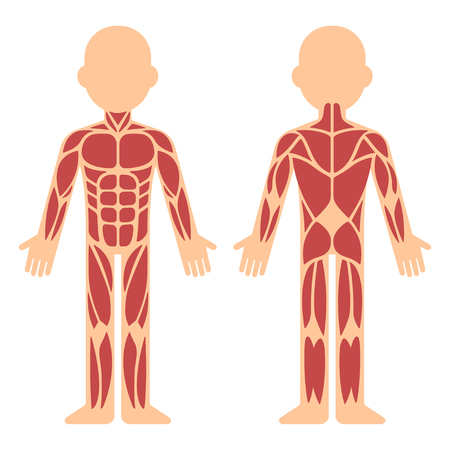 Stylized muscle anatomy chart, front and back. Male body major muscles, flat cartoon vector style infographic illustration. Иллюстрация