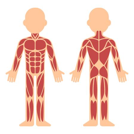 Tabla de anatomía muscular estilizada, delantera y trasera. Músculos principales del cuerpo masculino, ilustración vectorial de dibujos animados estilo plano infografía.