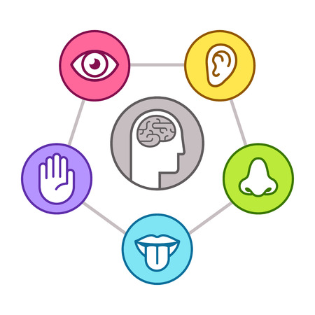 Menselijke perceptie infographic schema. Vijf zintuigen (zien, ruiken, horen, aanraken, proeven) zoals weergegeven door organen, omliggende hersenen. Lijn pictogrammenset, vectorillustratie. Stockfoto - 94306812