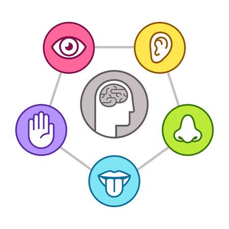 Schéma d'infographie de la perception humaine. Cinq sens (vue, odorat, ouïe, toucher, goût) représentés par les organes, le cerveau environnant. Jeu d'icônes de ligne, illustration vectorielle. Vecteurs