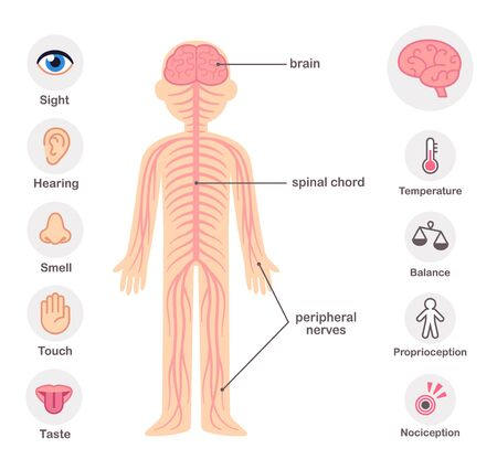 Nervous system infographic chart elements. Nerves, spine, brain and the five senses.