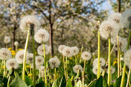 Dandelion heads on a meadow