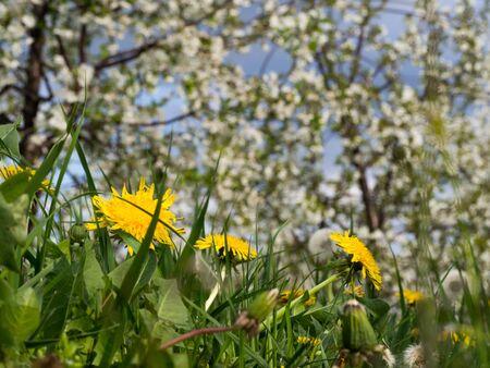 Dandelion flowers in blooming orchard