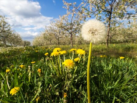 Dandelion in the orchard