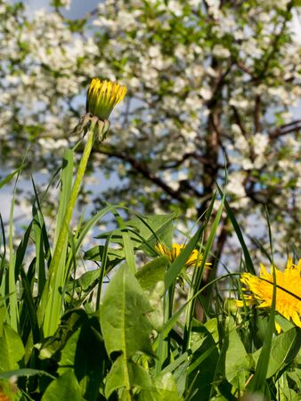 Growing dandelion in the orchard