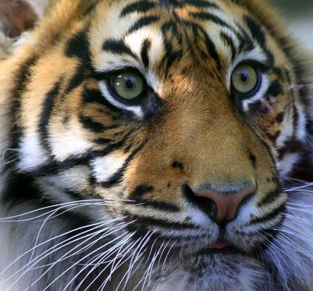Sumatran Tiger Stock Photo - 4875334