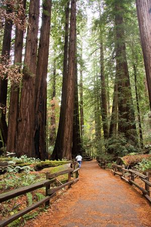muir: Giant redwood trees in Muir Woods, California