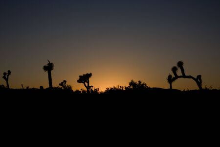 Joshua Trees in silhouette at sunset photo