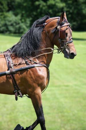 trotting: Horse trotting