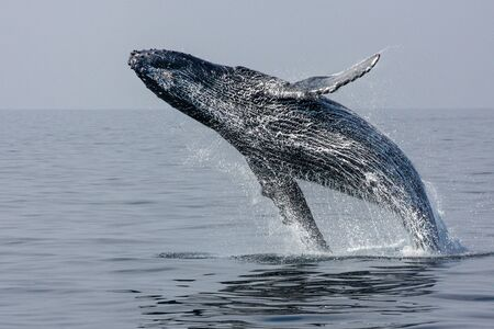 hawaii: Breaching Hump Back Whale