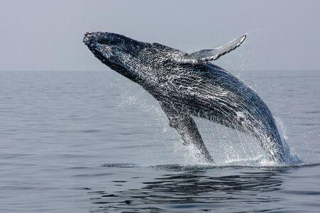 baleine: Sauter arrière de bosse Whale Banque d'images