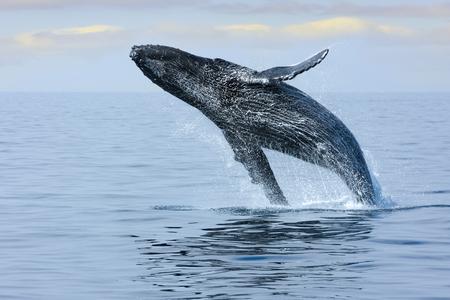 호놀룰루 해안에서 고래를 다시 잡아라. 하와이. 스톡 콘텐츠
