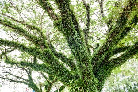 clima tropical: helecho verde que crece en el árbol grande en el clima tropical