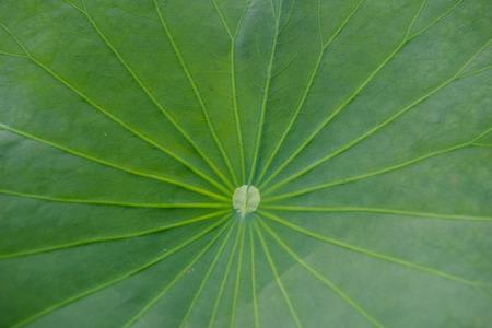 Closeup of lotus leaf Stock Photo