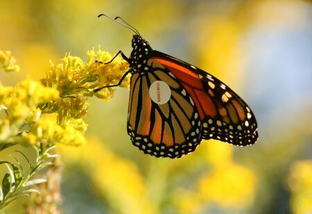 danaus: A Monarch butterfly Danaus plexippus with tag on during fall migration,Ontario, Canada