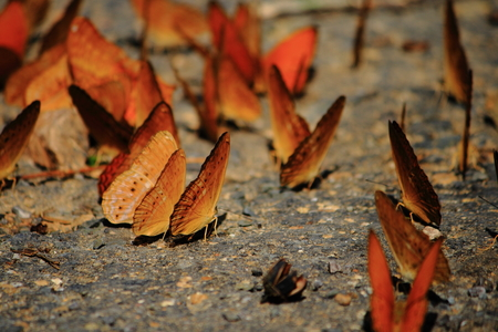 moisture: Orange Butterfly drinking earth moisture on asphalt road