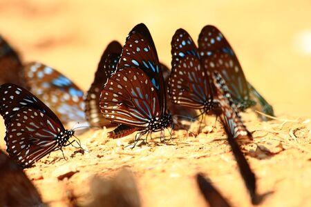 moisture: Black Butterfly drinking earth moisture