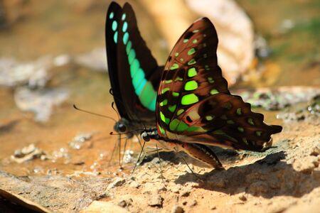 moisture: Black Green Butterfly drinking earth moisture