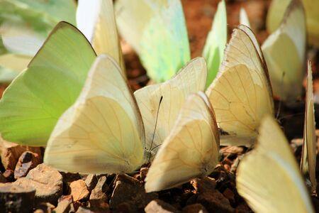 moisture: Yellow Butterfly drinking earth moisture