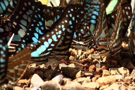 black and blue: Black Blue Butterfly drinking earth moisture