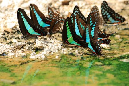 black and blue: Black Blue Butterflys drinking earth moisture