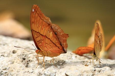 moisture: Orange Butterfly drinking earth moisture Stock Photo