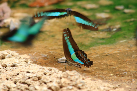 moisture: Black Blue Butterfly drinking earth moisture by a pond Stock Photo