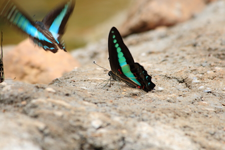 moisture: Black Blue Butterfly drinking earth moisture
